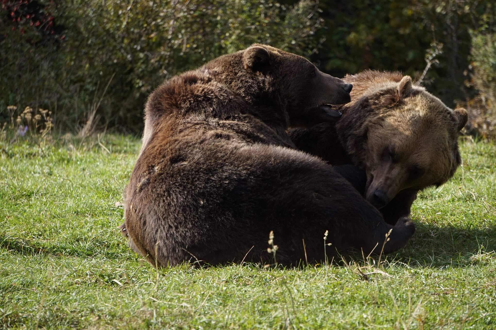 Bear Sanctuary Zarnesti