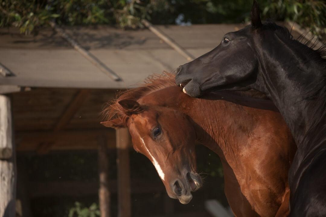 Equus Silvania 10